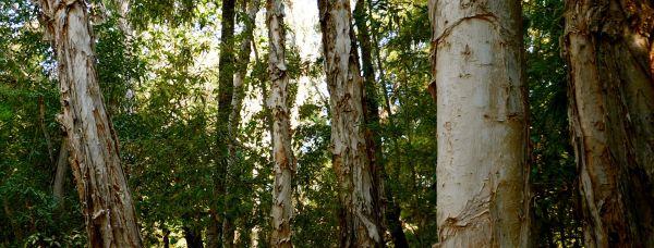 paperbark cross-section - Adel's Grove
