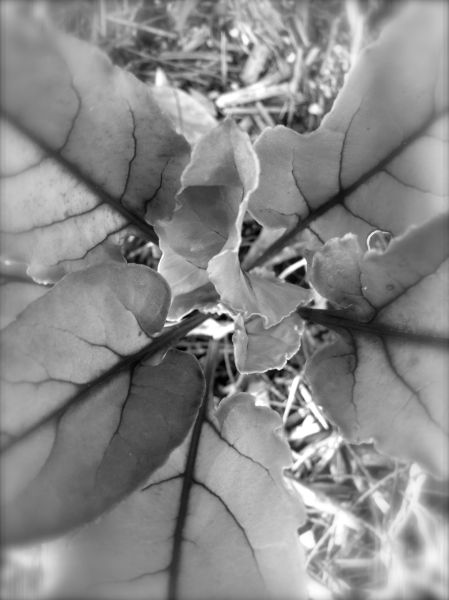 beetroot plant - b and w