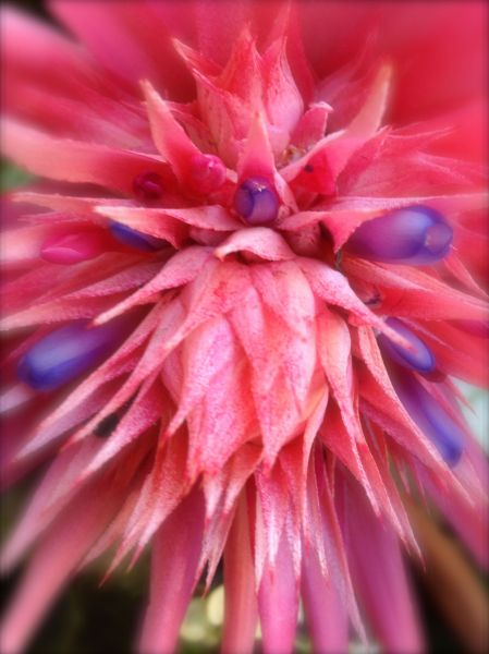 pink and blue - bromeliad