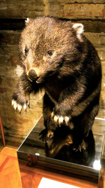 Wombat taxidermy