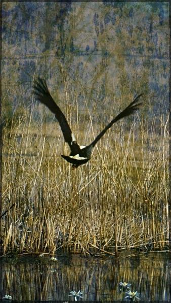 goose in flight - Gritty 17