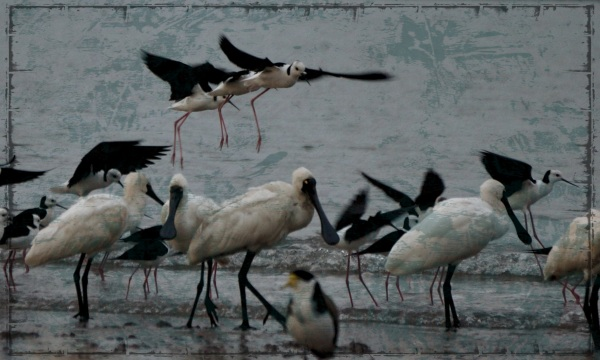 morning spoonbills and stilts