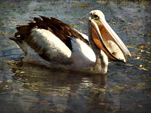 Pelican open bill - Wyndham - Gritty 13