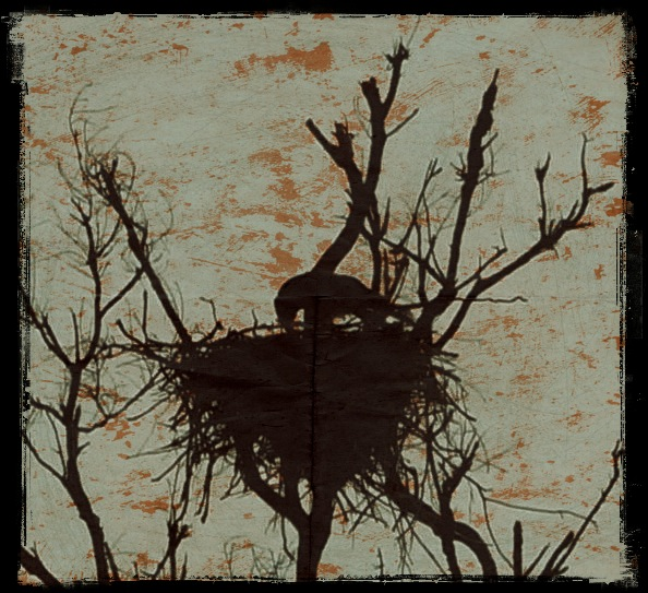 whistling kite feeding young - Lake Argyle - Grungetastic - Distressed 05