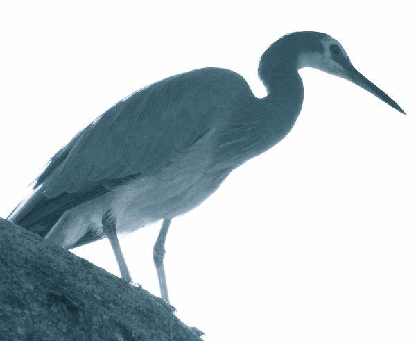 white-faced heron - Feb 25