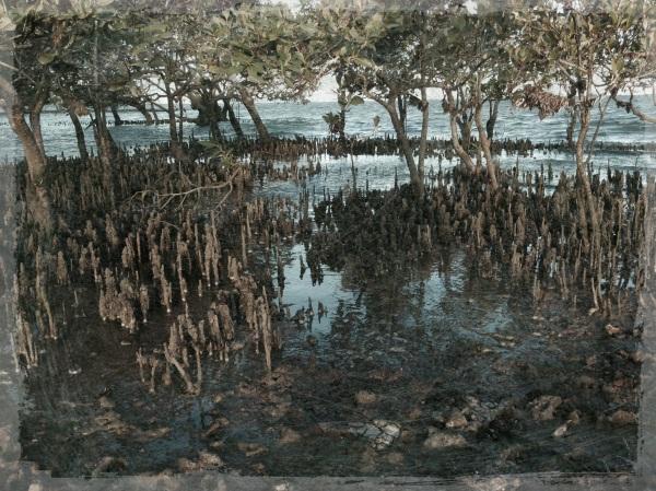 mangroves 1