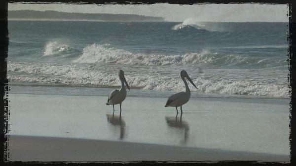 Stradbroke - Flinders Beach pelicans - Grunge