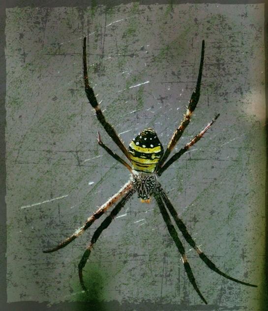 garden spider 2 - 17 April 2014 - GRUNGE