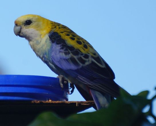 pale headed rosella #1