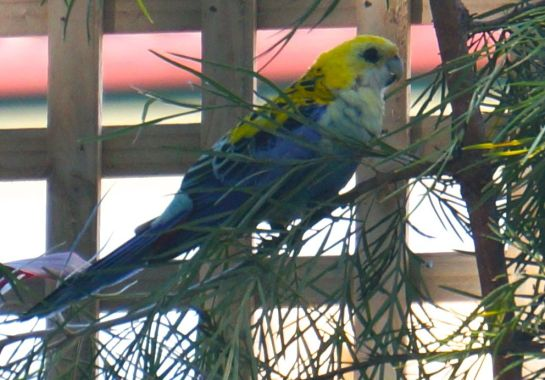 pale headed rosella #3