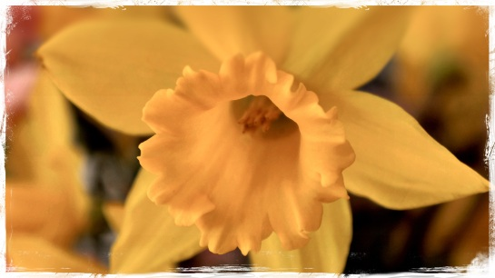 daffodil - highlights and Amsterdam FX