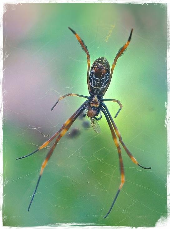 garden spider - August 2014