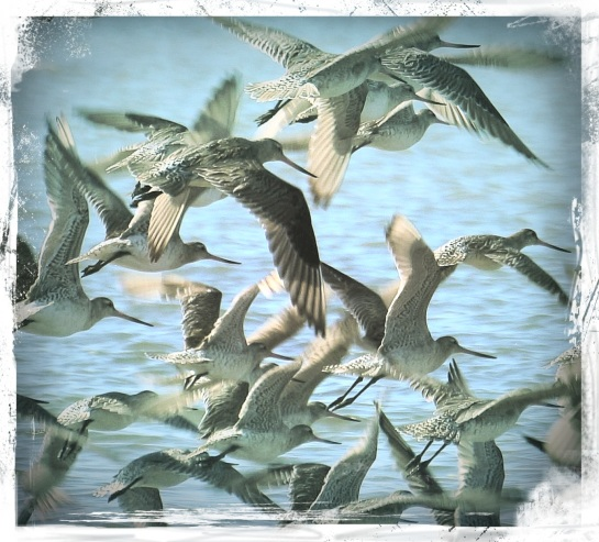 godwits in flight 2 - 26 Aug 2014