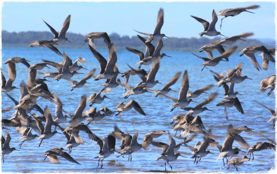 Godwits in flight - 26 Aug 2014