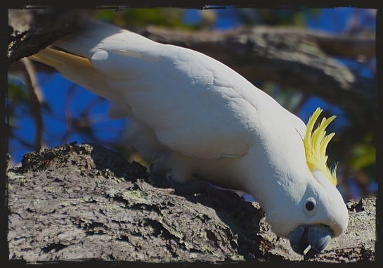 Sulphur crested cockatoo - 7 August 2014 - Oyster Point