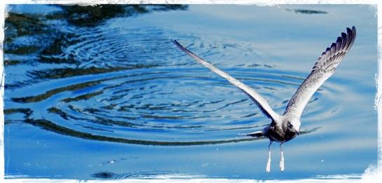 4  Gulls - Ketchikan 4 - Blue Stroke