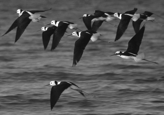 black and white stilts