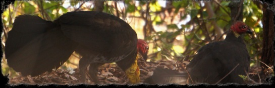 brush turkey pair - Sunday 7 Sep 2014