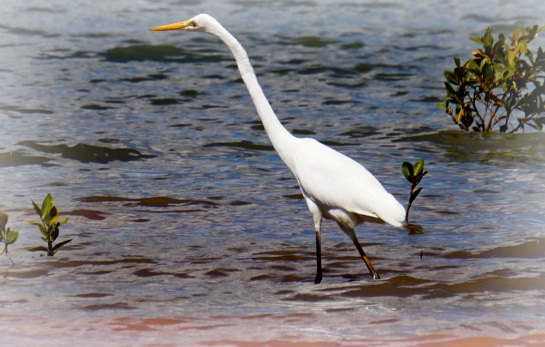 egret stalking fish - 12 Sept 2014