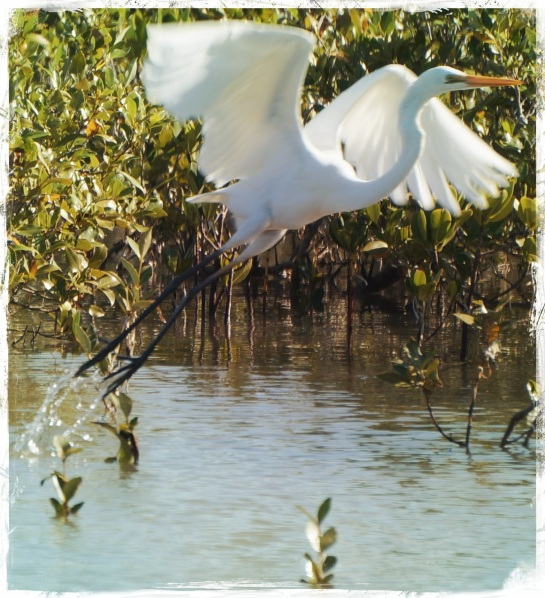 Egret takes flight - FX Pacific 20