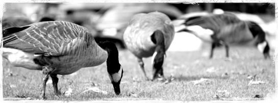 Geese feeding - park - Portland - 18 Sep 2014