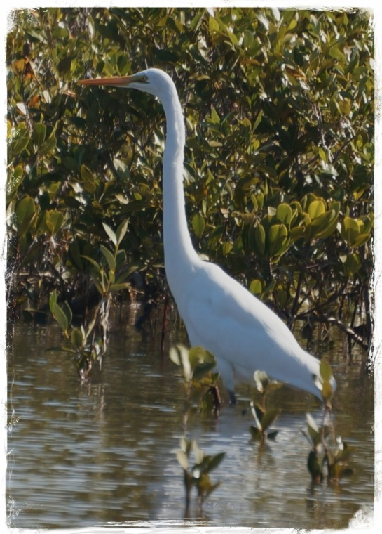 greater egret - OP 1 Sep 2014