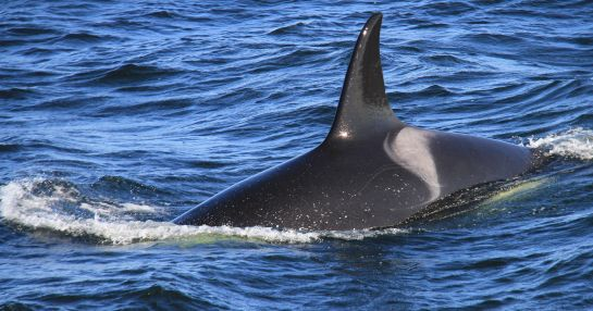 Killer whale - Juneau whale watching - RHW - 23 Sept 2014