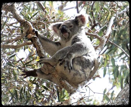 Koala - 13 Sept 2014