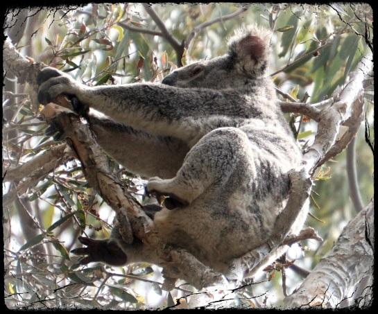 koala 2 - 13 Sep 2014