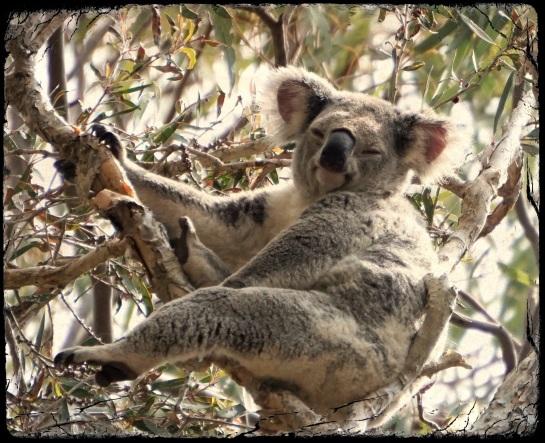 koala 3 - 13 Sept 2014