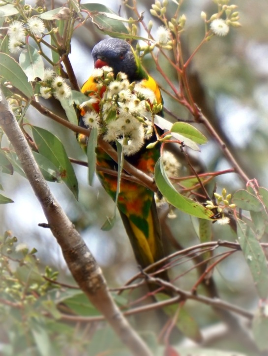 Lorikeet feeding - 13 Sept 2014