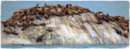 Sea lions - South Marble Island - Glacier Bay - 25 Sept 2014