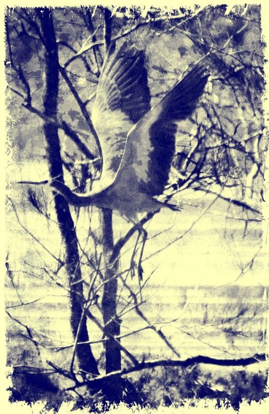 white faced heron in flight - Worn Pop 4 and Magenta Stroke FX and Socorro FX