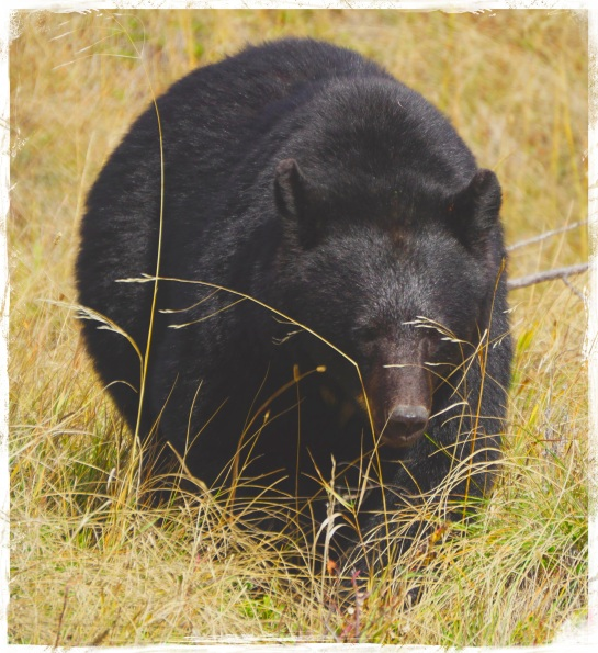 Bear 2 - Waterton Lakes Park