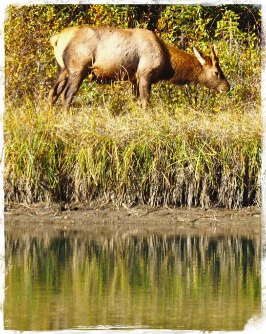 deer - Fenland Loop, Banff