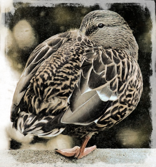 duck in a tuck - Beacon Hill Park - Grunge 13