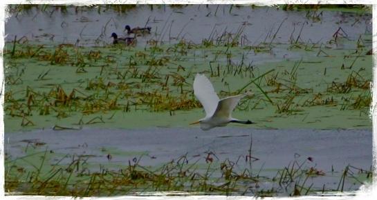 Egret - Brownsville MN
