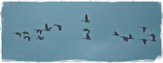 geese on a rainy day