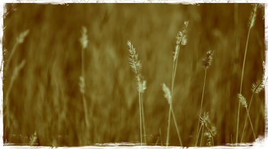 Grasses at Little Big Horn