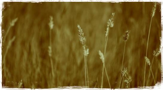 Grasses at Little Big Horn