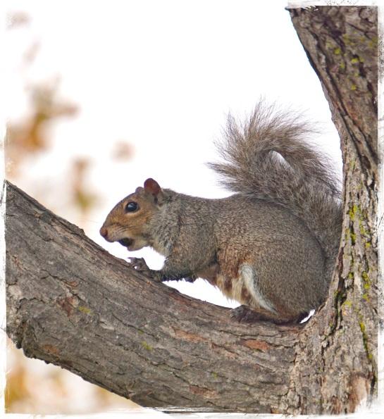 Milwaukee squirrel