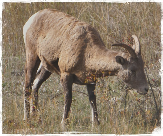 mountain sheep - Jasper - 5 Oct 2014