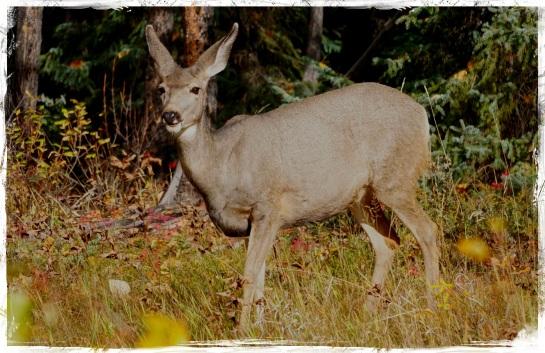Mule deer - Sun 5 Oct 2014