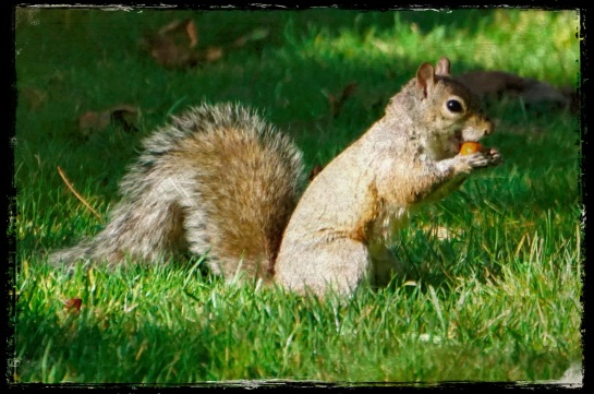 Squirrel 1 - Beacon Hill Park