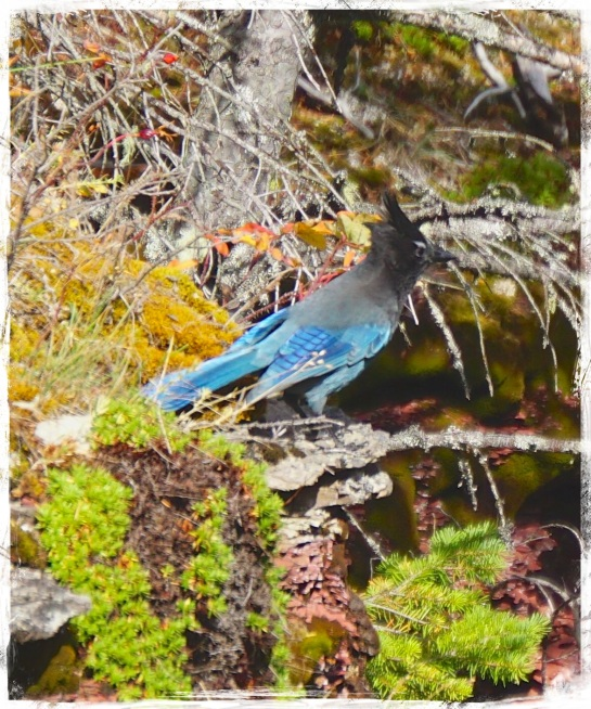 Stellar Jay - Red Rock Canyon - Waterton Lakes