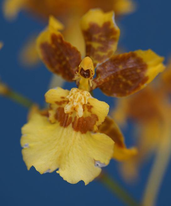 Dancing lady orchid - Canon lens attached