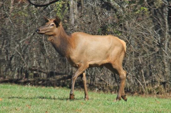 Elk - RHW