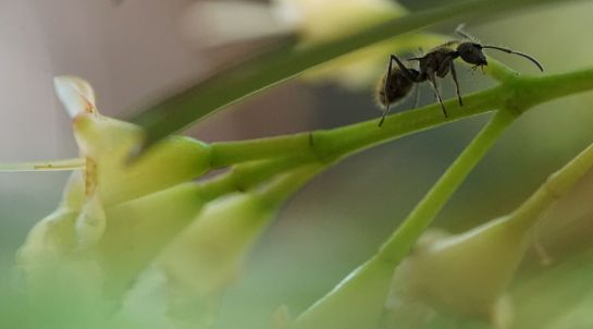 ant in the lilly pilly tree