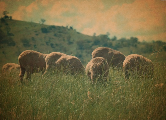 grazing sheep - Vintage Red