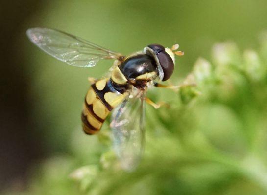 native bee 3 - 11 December 2011